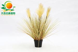 金色芦苇草