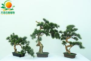 精品松柏树